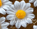 White Silk Daisy Flowers 100